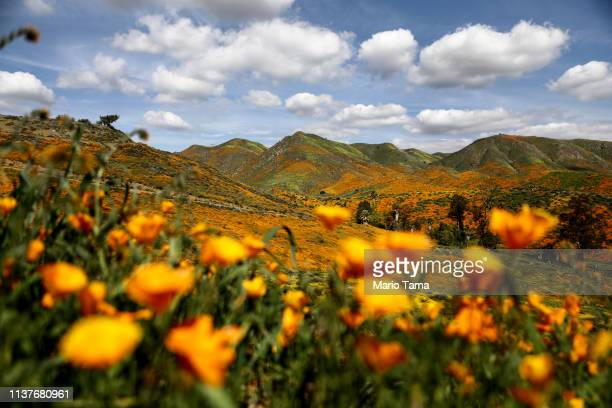 A 'super bloom' of wild poppies blankets the hills of Walker Canyon on March 22 2019 near Lake Elsinore California Heavier than normal winter rains...