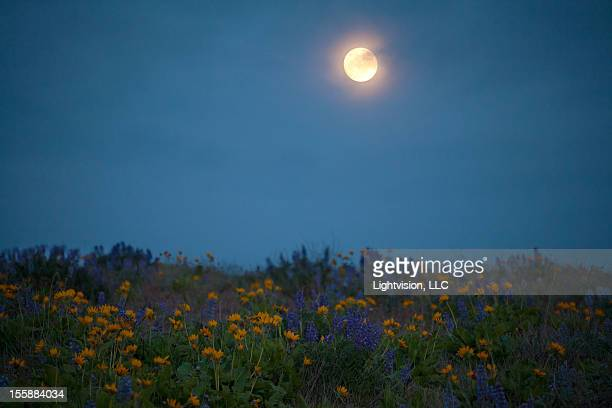 super moon with spring wild flowers - flower moon stock pictures, royalty-free photos & images
