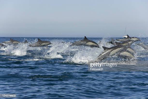 Super pod or large group of common dolphins. Baja, Mexico
