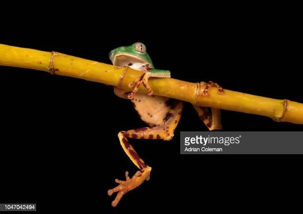 Super Tiger Legged Monkey Tree Frog