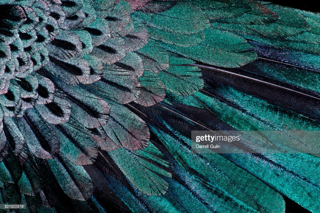Superb Bird of Paradise feather design as they radiate outwards : Stock Photo