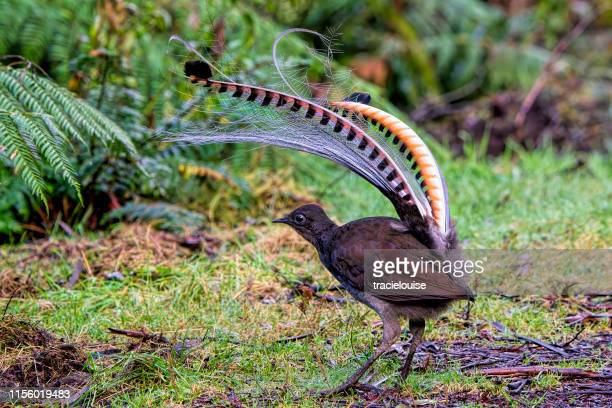 superb lyrebird (menura novaehollandiae) - male animal stock pictures, royalty-free photos & images