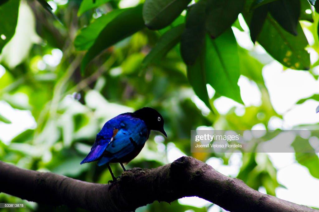 Superb Starling : Foto stock