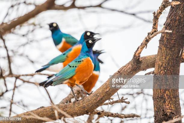 superb starlings perched on a tree - small group of animals stock pictures, royalty-free photos & images