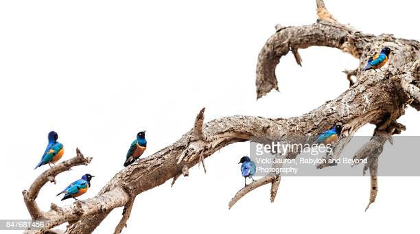superb starlings perched on branch - amboseli stock photos and pictures