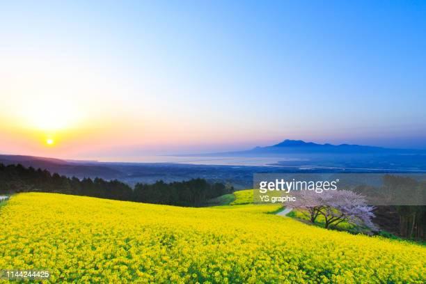superb view of rape blossoms and cherry blossoms - brassica napus l - fotografias e filmes do acervo