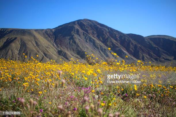 superbloom in anza-borrego - anza borrego desert state park stock pictures, royalty-free photos & images