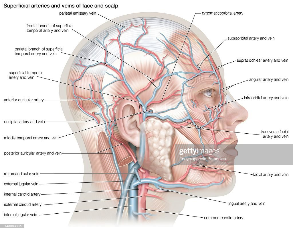 Facial Anatomy Diagram Veins - Wiring Diagram Database •