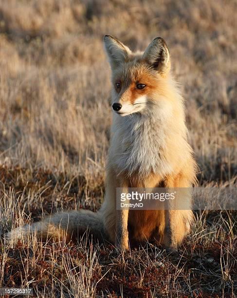 Supervising fox.
