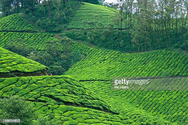 A supervisor checks the state of tea bushes on a plantation in the hills around Munnar Kerala