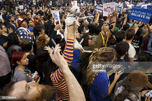 A supporter holds a dog into the air as Senator Bernie Sanders an independent from Vermont and 2016 Democratic presidential candidate not pictured is...