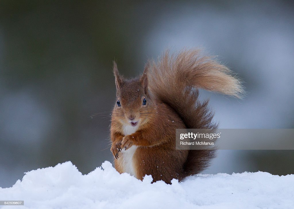 Suprised red squirrel. : Stock Photo