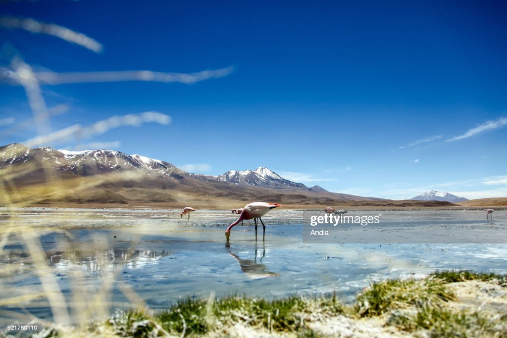 Sur Lipez or Sud Lipez Province, Altiplano of Bolivia, 2011: Laguna Hedionda, lake with its James's flamingos (or puna flamingos) and its rocky and mountainous landscapes.