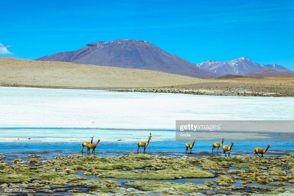 Sur Lipez or Sud Lipez Province, Altiplano of Bolivia, 2011: vicunas at Laguna Canapa.