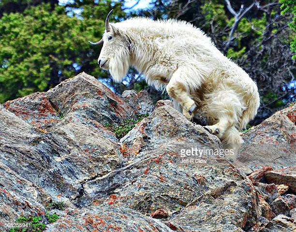 Sure footed Mountain Goat