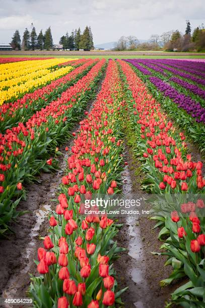 Sure sign of spring is the beginning of the Skagit Valley Tulip Festival.
