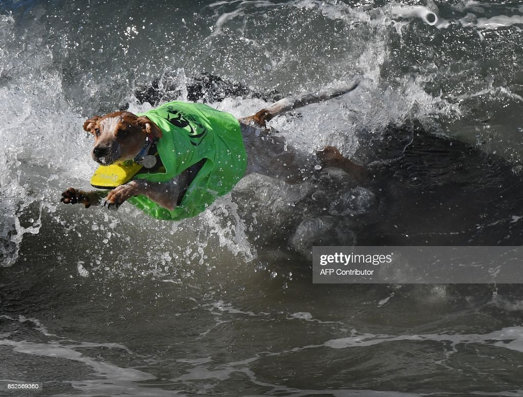 Surf dog Archer wipes out in the second heat of the Small Dog event during the 9th annual Surf City Surf Dog event at Huntington Beach, California on September 23, 2017. Dogs, big and small, and some in tandem braved the large swell that greeted them during the iconic event at Surf City, USA. / AFP PHOTO / Mark RALSTON