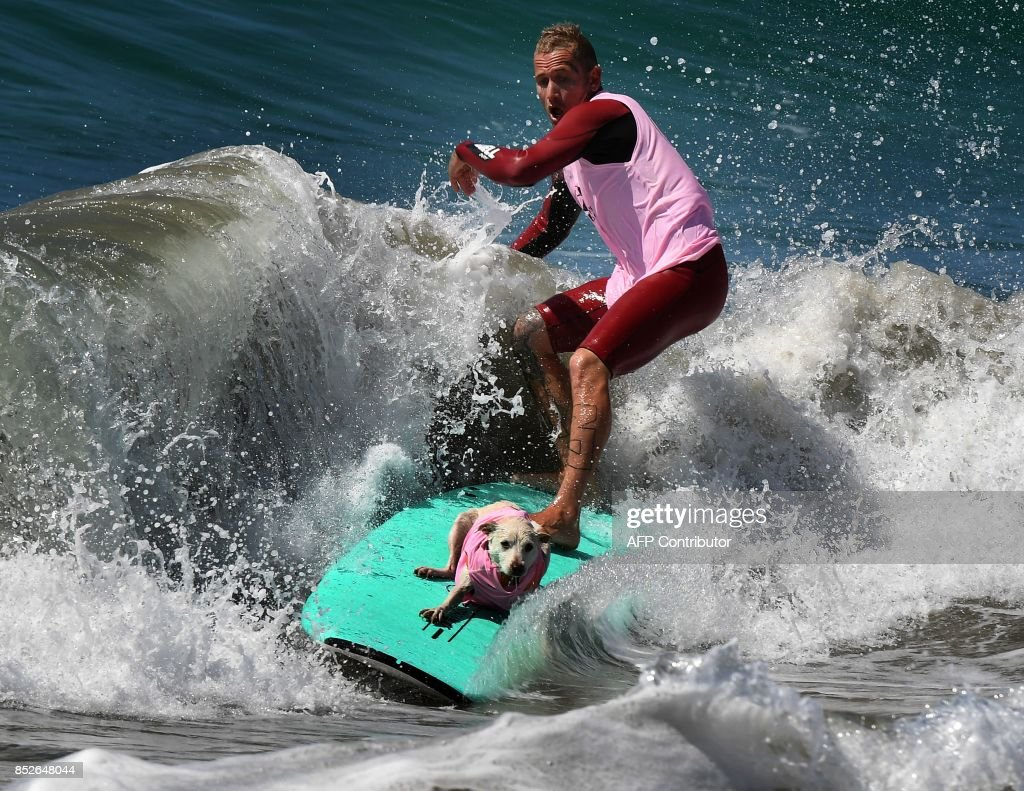 Surf dog Bakio competes in the tandem event during the 9th annual Surf City Surf Dog event at Huntington Beach, California on September 23, 2017. Dogs, big and small, and some in tandem braved the large swell that greeted them during the iconic event at Surf City, USA. / AFP PHOTO / Mark RALSTON
