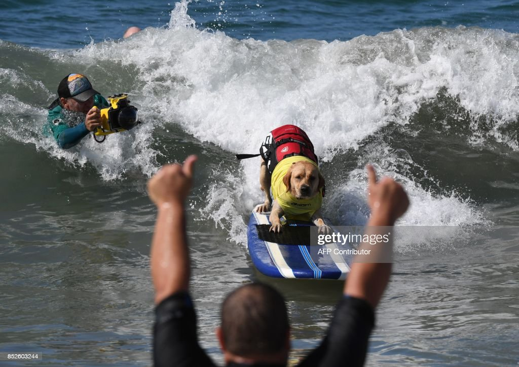 Surf dog Charlie rides a wave in his heat of the Extra Large Dog event during the 9th annual Surf City Surf Dog event at Huntington Beach, California on September 23, 2017. Dogs, big and small, and some in tandem braved the large swell that greeted them during the iconic event at Surf City, USA. / AFP PHOTO / Mark RALSTON
