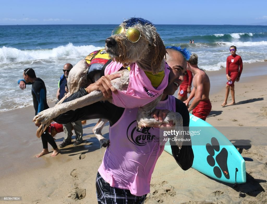 Surf dog Derby and owner Kentucky Gallahue leave the water after competing in the tandem event during the 9th annual Surf City Surf Dog event at Huntington Beach, California on September 23, 2017. Dogs, big and small, and some in tandem braved the large swell that greeted them during the iconic event at Surf City, USA. / AFP PHOTO / Mark RALSTON