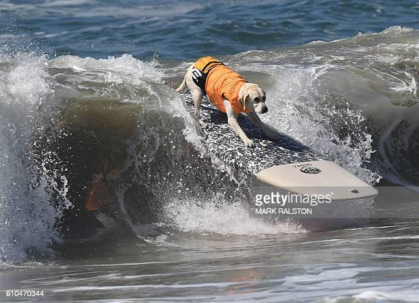 Surf dog Haole the Yellow labrador surfs a wave during the 8th annual Surf City Surf Dog event at Huntington Beach California on September 25 2016...