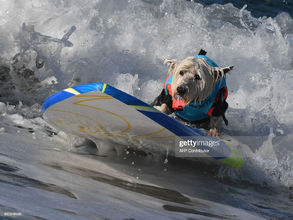 Surf dog Joey rides a wave in the Small Dog event during the 9th annual Surf City Surf Dog event at Huntington Beach, California on September 23, 2017. Dogs, big and small, and some in tandem braved the large swell that greeted them during the iconic event at Surf City, USA. / AFP PHOTO / Mark RALSTON