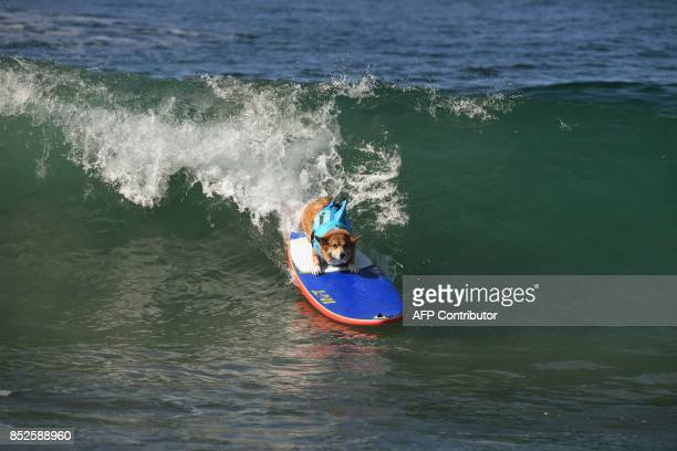 Surf dog Jojo the Corgi rides a wave in her heat of the Medium Dog event during the 9th annual Surf City Surf Dog event at Huntington Beach...