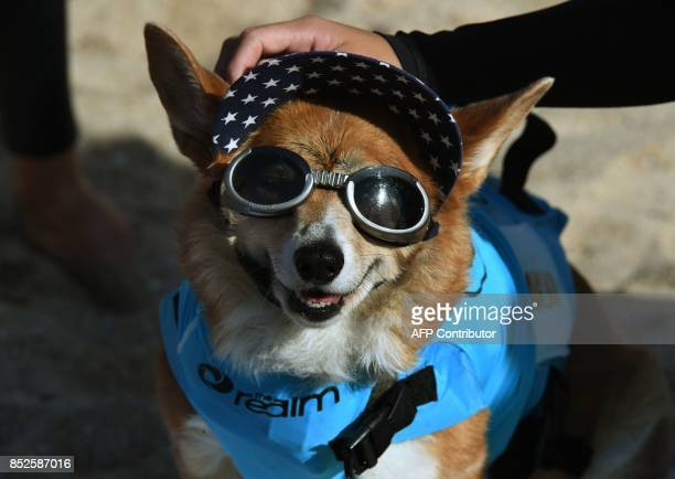 Surf dog Jojo the Corgi waits for her heat of the Medium Dog event during the 9th annual Surf City Surf Dog event at Huntington Beach California on...