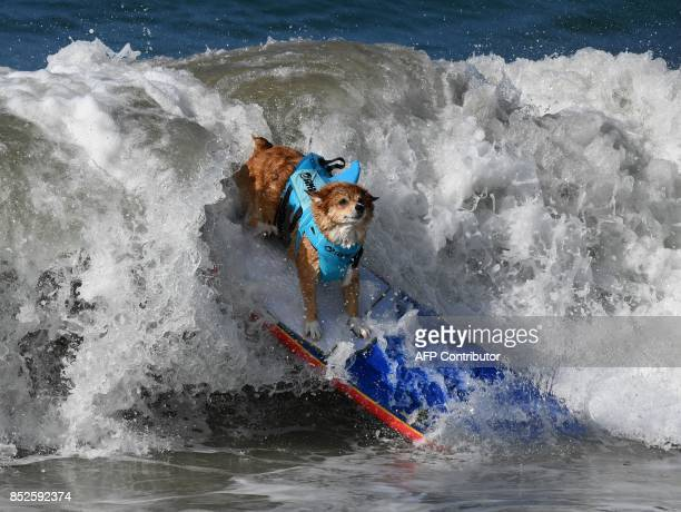 Surf dog Jojo the Corgi wipes out in her heat of the Medium Dog event during the 9th annual Surf City Surf Dog event at Huntington Beach California...