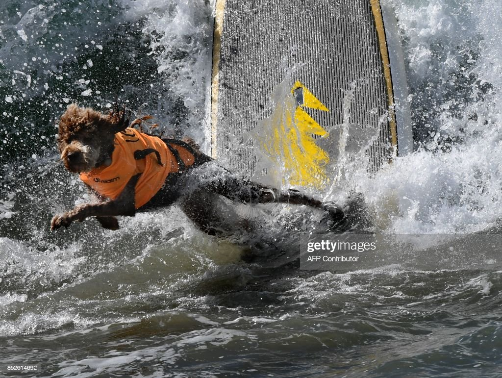 Surf dog Kula wipes out in his heat of the Extra Large Dog event during the 9th annual Surf City Surf Dog event at Huntington Beach, California on September 23, 2017. Dogs, big and small, and some in tandem braved the large swell that greeted them during the iconic event at Surf City, USA. / AFP PHOTO / Mark RALSTON