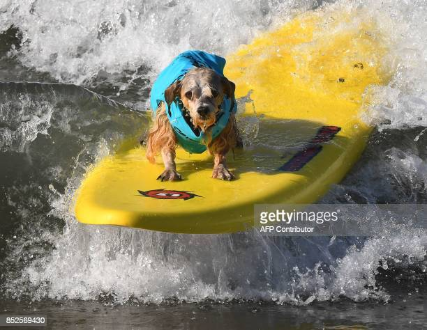 Surf dog Prince Dudeman rides a wave in the second heat of the Small Dog event during the 9th annual Surf City Surf Dog event at Huntington Beach...