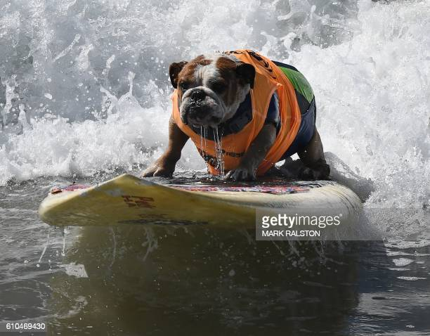 TOPSHOT Surf dog Sully surfs a large wave during the 8th annual Surf City Surf Dog event at Huntington Beach California on September 25 2016 Dogs big...