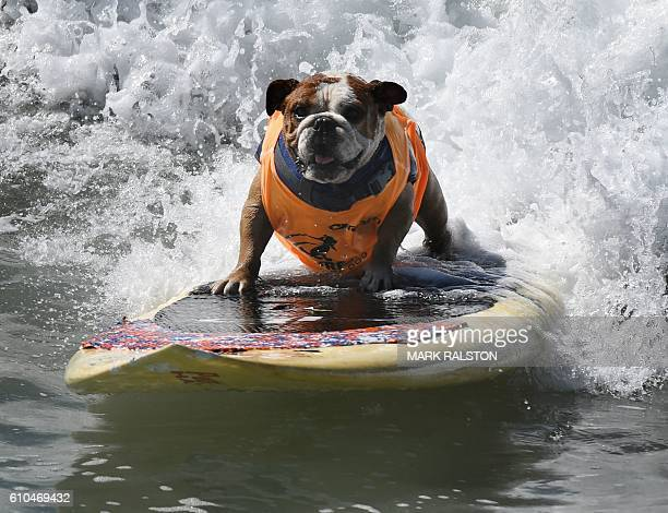 Surf dog Sully surfs a large wave during the 8th annual Surf City Surf Dog event at Huntington Beach California on September 25 2016 Dogs big and...