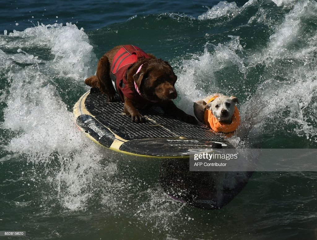 Surf dogs collide as they compete in the Shredder event during the 9th annual Surf City Surf Dog event at Huntington Beach, California on September 23, 2017. Dogs, big and small, and some in tandem braved the large swell that greeted them during the iconic event at Surf City, USA. / AFP PHOTO / Mark RALSTON