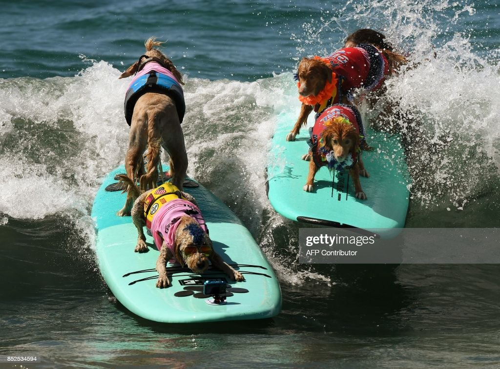 Surf dogs Derby and Teddy (L) compete against Samson and Delilah (R) in the tandem event during the 9th annual Surf City Surf Dog event at Huntington Beach, California on September 23, 2017. Dogs, big and small, and some in tandem braved the large swell that greeted them during the iconic event at Surf City, USA. / AFP PHOTO / Mark RALSTON