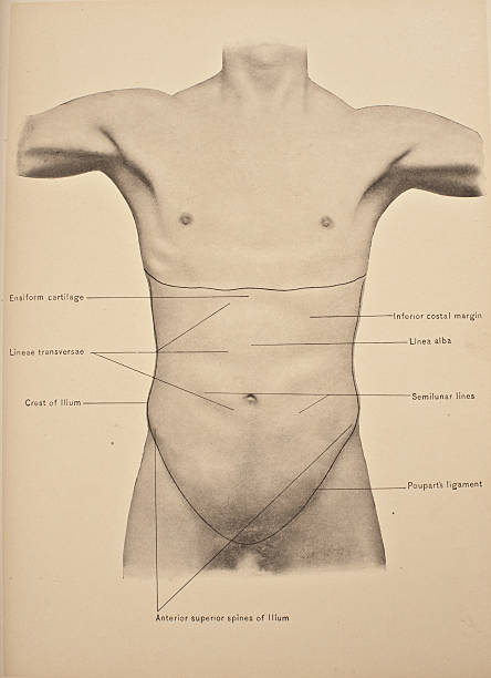 The Abdomen Pictures Getty Images