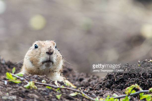 surface level of marmot on field - woodchuck stock pictures, royalty-free photos & images