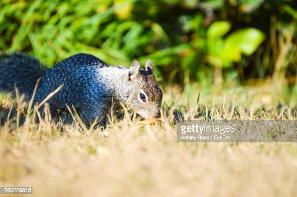 surface level of squirrel on field - ashley ross stock pictures, royalty-free photos & images