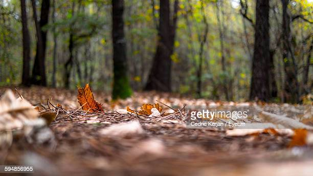 Surface Level View Of Autumn Leaves In Forest