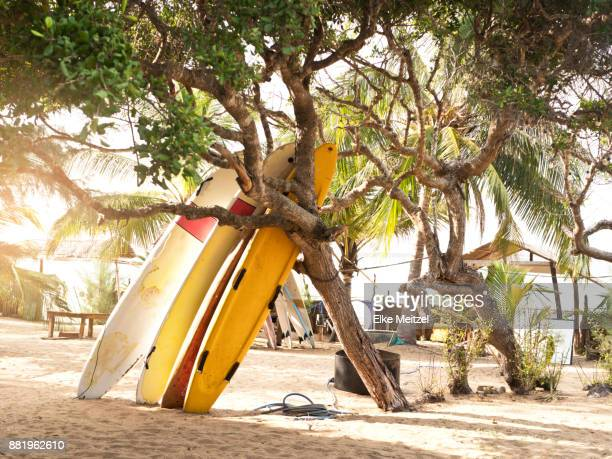 surfboards leaning against a tree in Arugam Bay