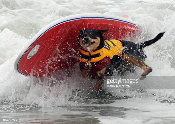 Surfer dog Abbie who is an Australian Kelpie cross wipesout during the annual Surf City Surf Dog competition at Huntington Beach in California on...
