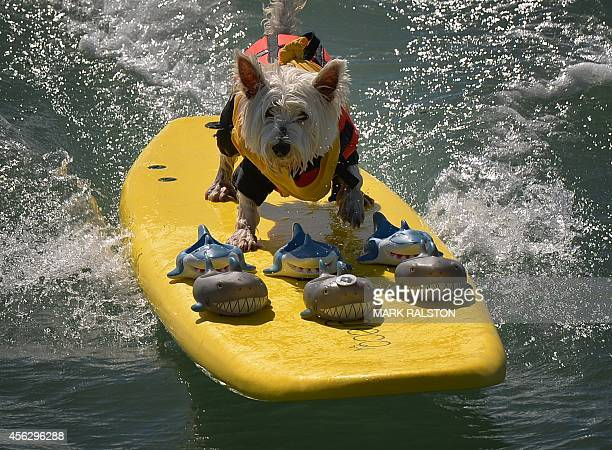 Surfer Dog Joey rides a wave in the small dog division during the 6th Annual Surf Dog competition at Huntington Beach California on September 28 2014...