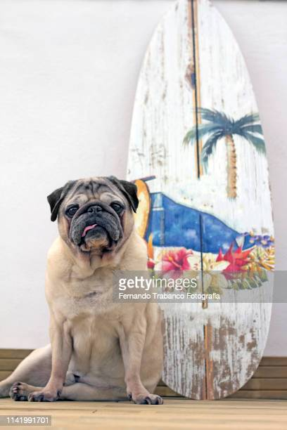 surfer dog - domestic animals stock pictures, royalty-free photos & images