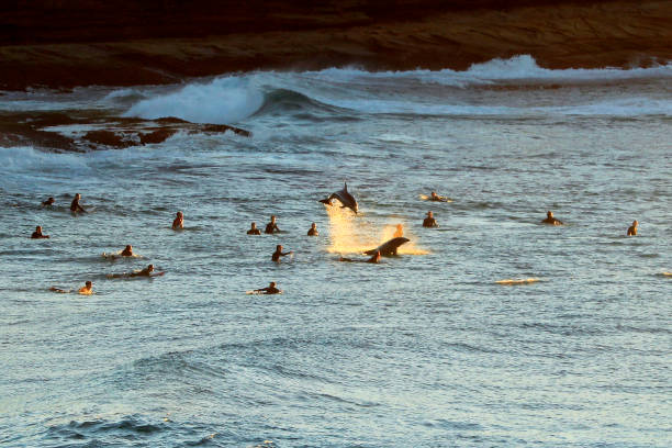 AUS: Dolphins Frolic With Surfers In Sydney
