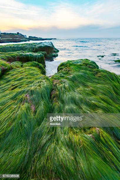 surfgrass exposed at low tide - la jolla stock pictures, royalty-free photos & images