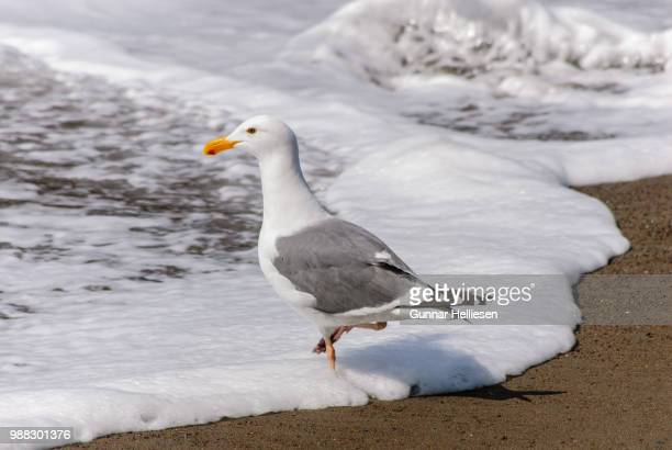surfgull i - gunnar helliesen stock pictures, royalty-free photos & images