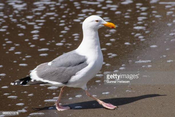 surfgull ii - gunnar helliesen stock pictures, royalty-free photos & images