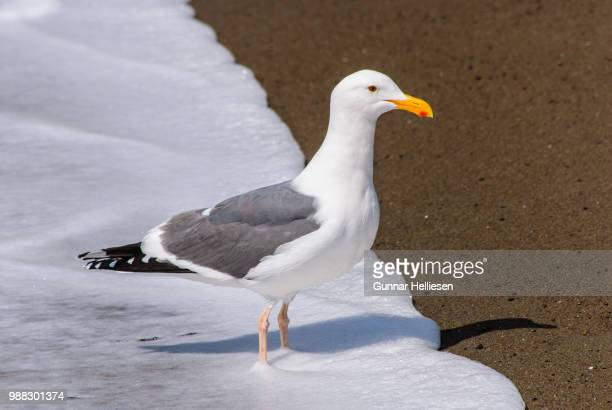 surfgull iii - gunnar helliesen stock pictures, royalty-free photos & images