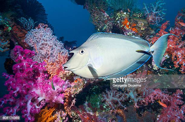 Surgeonfish over coral reef