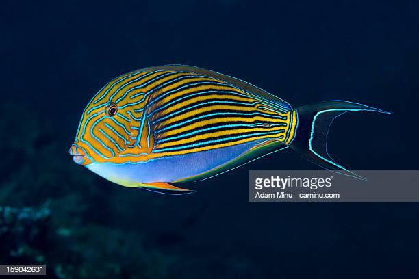 surgeonfish - poissons exotiques photos et images de collection